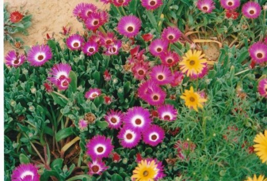 Wild field flowers at the western cape