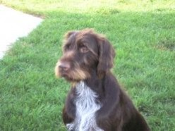 We Have German Wirehaired Pointers