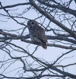 Friendly Barred Owl