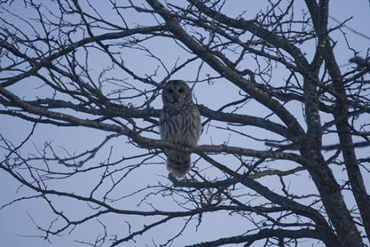 Barred Owl Third Shot