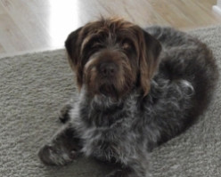 Joey, Our Social German Wirehaired Pointer
