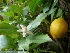 Lemon Juice!