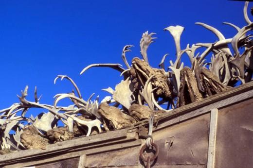 Kotzebue Caribou Antlers on Rooftop