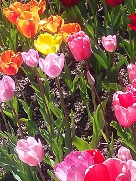 Tulips In My World of Walking