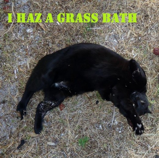 Some cats prefer a roll in the grass to a dip in the tub.   Walker, Florida Feline, definitely prefers a 'grass bath.'