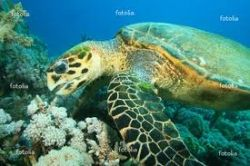 hawksbill-sea-turtle-eating.jpg