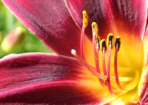 Close up of a Lily