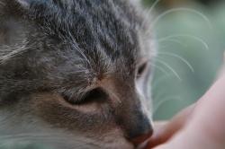 CC the Tabby Cat