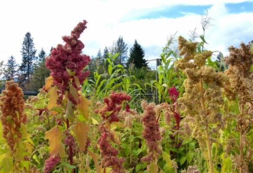 Quinoa In Bloom