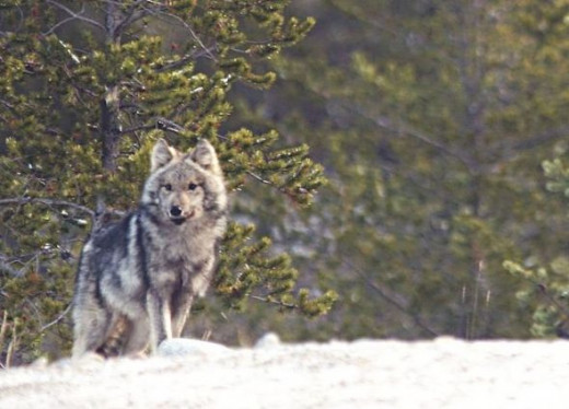 Grey Timber Wolf