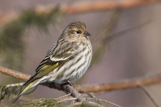 Pine Siskin of the Boreal Forest