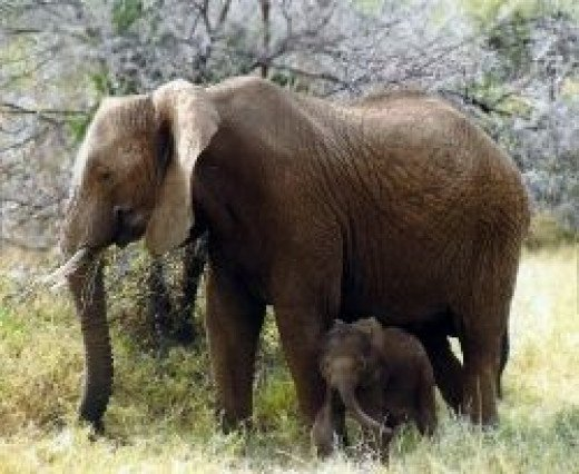 Elephant Mother & Calf