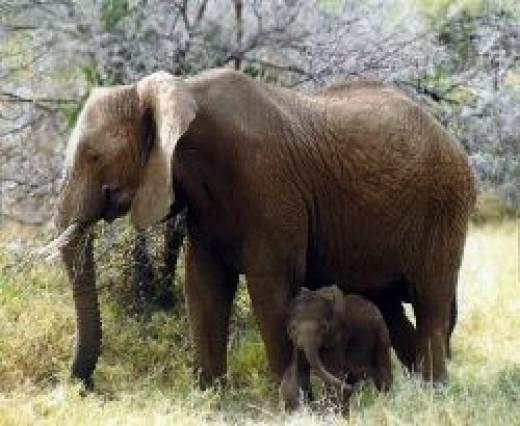 Elephant Mother & Calf