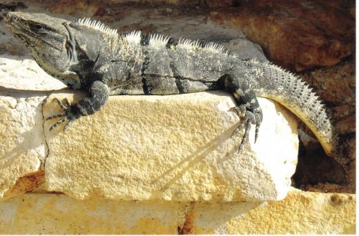 Plenty of shy iguanas