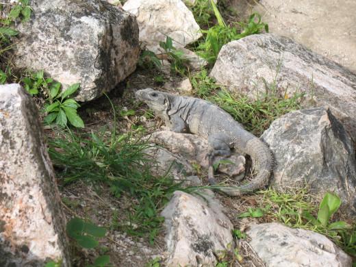 Shy iguana