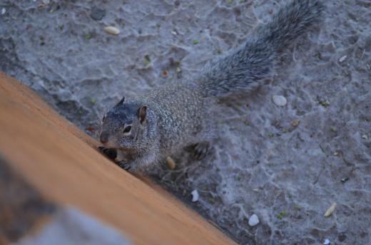 Little ground squirrel takes interest in my camera