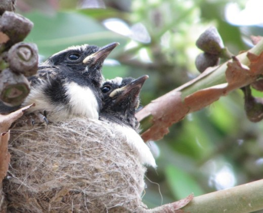 Willie wagtail chicks