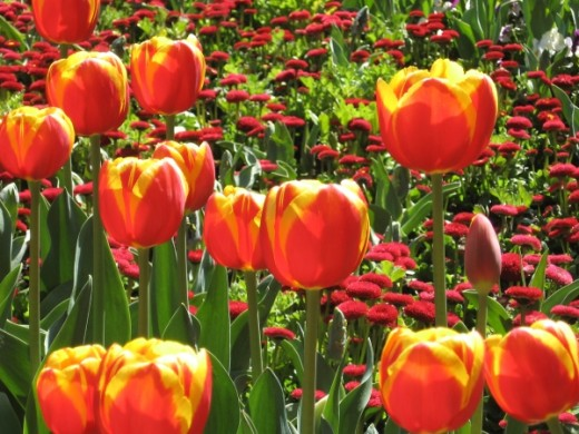 Red tulips at Floriade