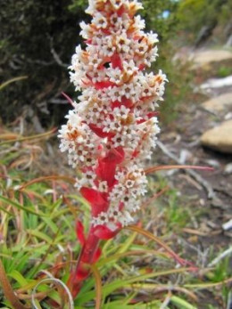 Dracophyllum milliganii