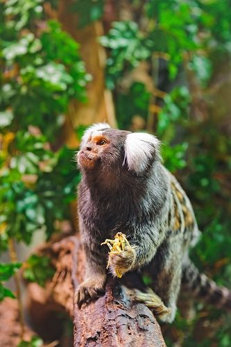 marmoset eating a grasshopper