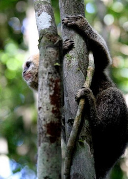 Endangered Marmoset