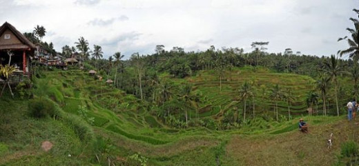 A Rice Terrace in ndonesia