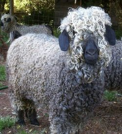 Mohair comes from the Angora goat