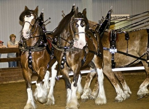 Belgian Clydesdales