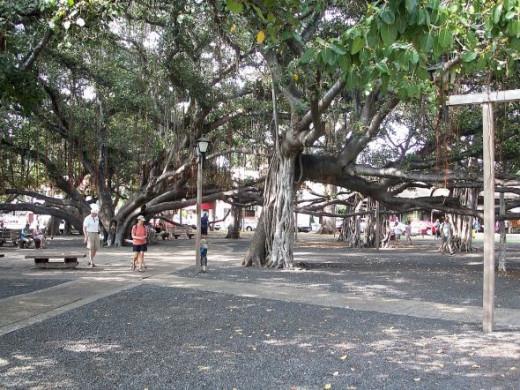 A Banyan Tree in Hawaii