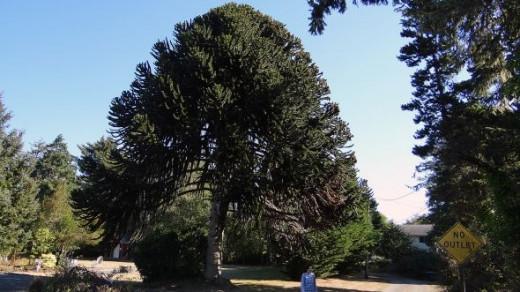 Large Tree in Long Beach Washington