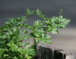 easily accessed parsley