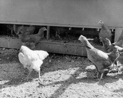 Other chickens laughing at Mike!