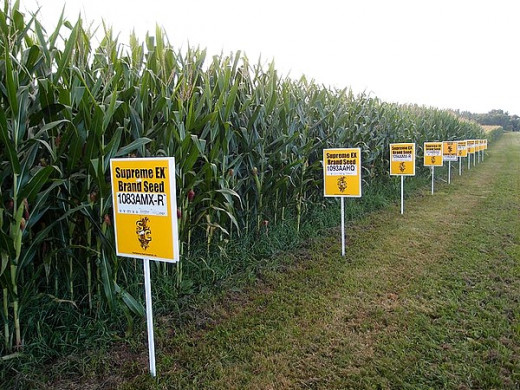 GMO corn field in Ohio