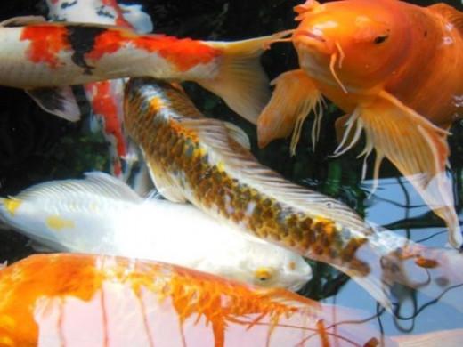 koi fish, photo by Relache
