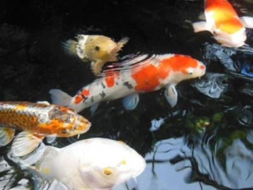 More Beautiful Koi