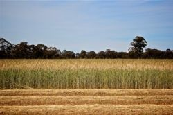 a wheat crop ready for harvest before the rains