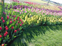 Planting and Growing Tulips