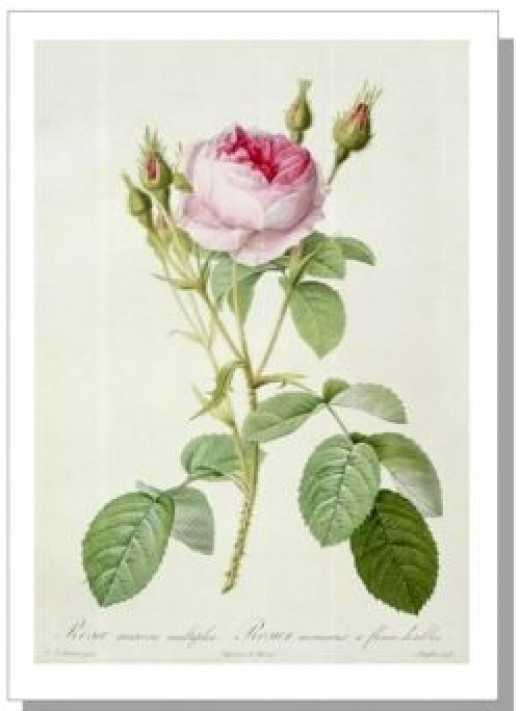 Rosa Mucosa by Pierre-Joseph Redouté
