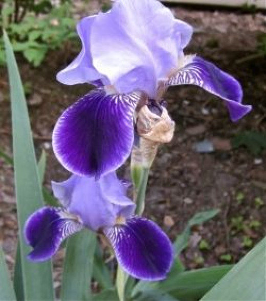 Antique Heirloom Bearded Iris 'Perfection' from 1880