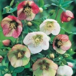 Scroll down for information about the Lenten Roses (Helleborus) shown above.