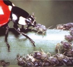 "Photo of ladybug eating aphids from ""Cicadas & Aphids."" The book is available at"