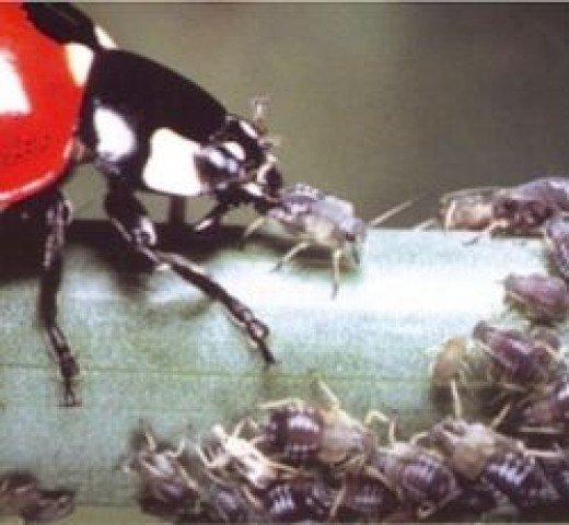 """Photo of ladybug eating aphids from """"Cicadas & Aphids."""" The book is available at"""