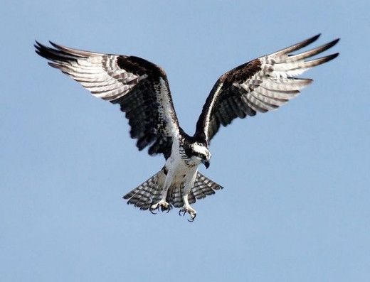 An Osprey Preparing to Dive