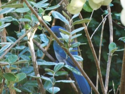 Scrub jays aside from hummingbirds, robins, starlings and squirrels assist in pollination of feijoas.