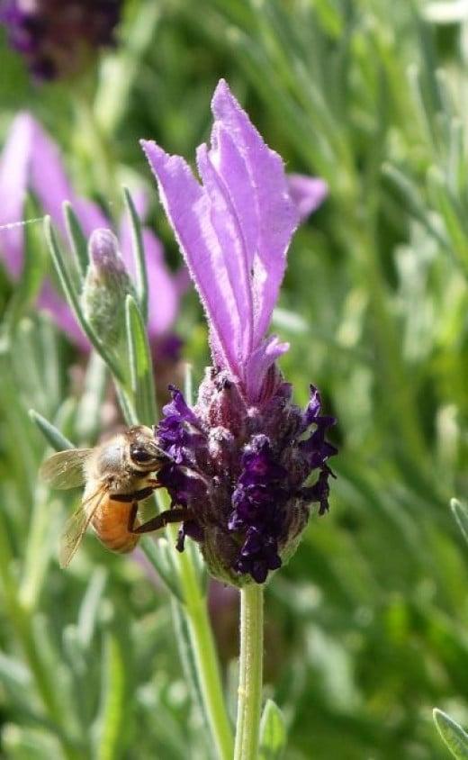 Bee gathering pollen from a lavender bush in my garden