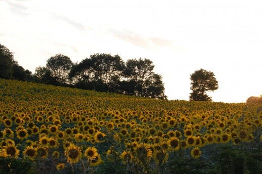 Sunflower fields around Issel