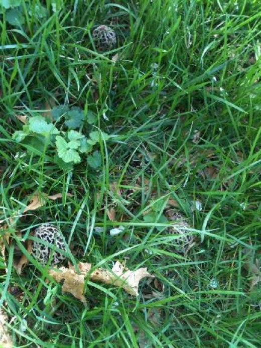 Morels often grow close together. Can you spot the group of three we found in the grass?