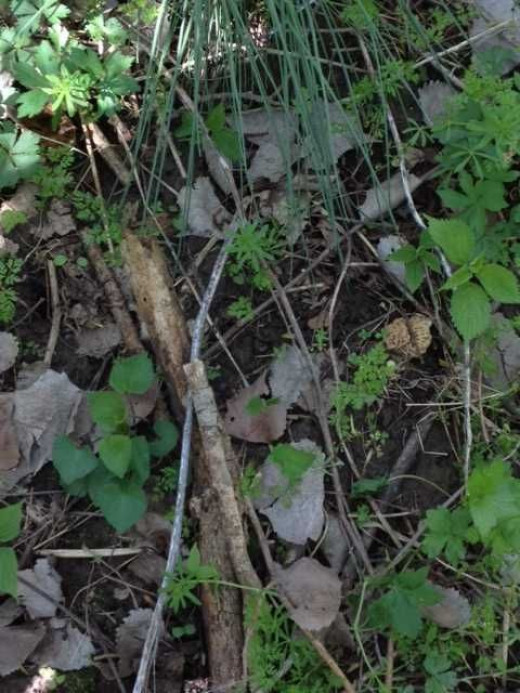 Another look at the still sprouting morel, this time from a distance. This is what you'll see if you're hunting for them.