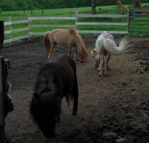Miniature Horses are adorable!