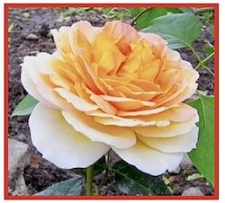 Rosa Antike Caramel. © 2011-15 CJS.